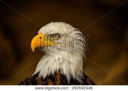 bald eagle, yellow beak, predatory gaze, majestic hunter at large, brown blurred background, symbol of America poster