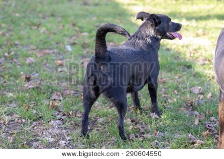 Labrador Mix Dog Is Standing Away Over A Green Field. Cute Runaway Dog