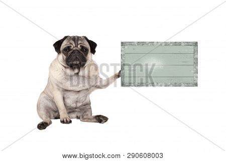 Cute Grumpy Pug Puppy Dog, Sitting Down, Holding Weathered Vintage Green Wooden Sign Board, Isolated