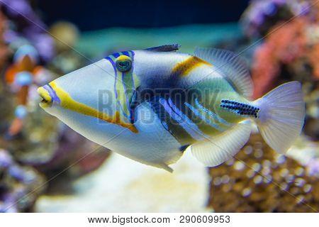 So Called Picassofish  Fish Also Known As Agoon Triggerfish In Aquarium