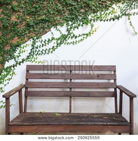Wooden Bench On White Wall Covered With Climbing Fig (creeping Fig, Ficus Pumila) Leaves. Ornamental