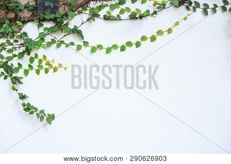 Climbing Fig (creeping Fig, Ficus Pumila), Woody Evergreen Vine, Has Creeping Or Vining Habit, Used