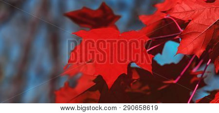 Canada Day Maple Leaves Background. Red Maple Leaves. Falling Red Leaf For Canada Day 1st July. Happ