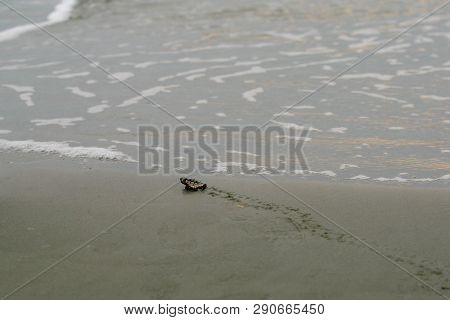 Loggerhead Sea Turtle Hatchling Nearly To The Sea Its Green And Yellow Shell Scutes Visible