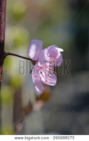 Purple-leafed Plum - Latin Name - Prunus X Blireiana (prunus X Blireana)