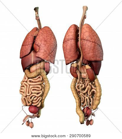 Abdominal And Thoracic Male Organ Set, Realistic Heart, Lungs, Stomach, Liver, Kidneys, Spleen, Larg