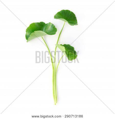 Closeup Leaf Of Gotu Kola, Asiatic Pennywort, Indian Pennywort On White Background, Herb And Medical