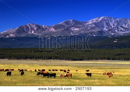 Cattle On The Colorado Range