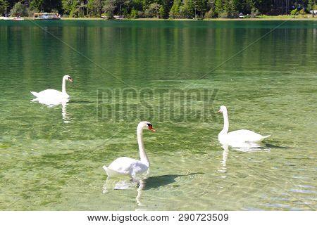 Swans Swimming In The Lago Di Dobbiaco, Dolomites, Italy