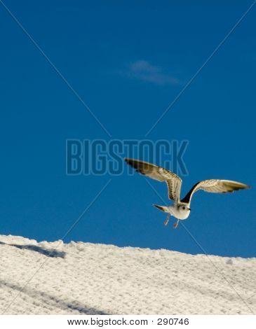 Bird In Snow Flying Away