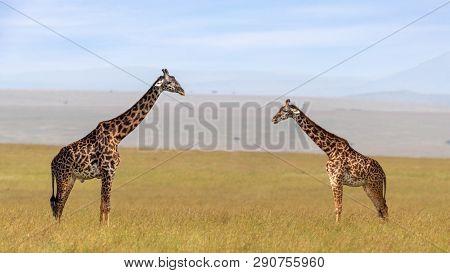 Male and female Masai giraffe, Giraffa camelopardalis tippelskirchii, in the long grass of the Masai Mara, Kenya.