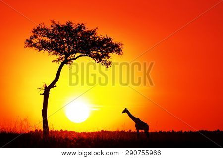 Acacia tree and giraffe with the setting sun in the Masai Mara. Silhouette against orange sunset in Kenya, with space for text.
