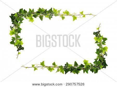 Frame of ivy -Fresh ivy leaves on white background