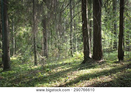 Beautiful green mystique Northern forest. The Sunlight through the trees. Green coniferous forest. Walk through the forest. Journey through the forest. Tourism in the North of the country. Forest reserve. Pine and pruce forest. Mixed forest. Path in the f