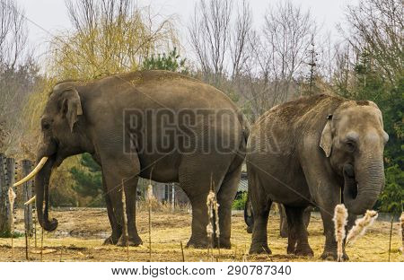 Asian Elephants Together, One Tusked Male And A Female, Elephant Couple Standing Together, Endangere