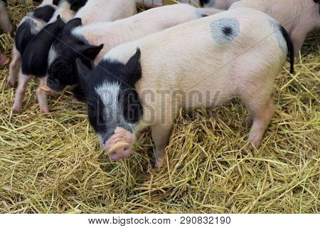 Many Dwarf Pig Pink Skin With Black Spotted Standing On Straw.