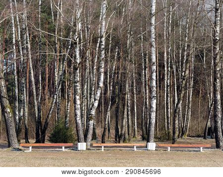 Birch Grove In Early Spring. Bench By The Trees.