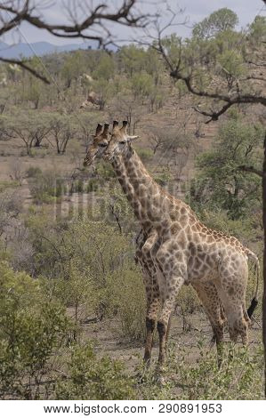 Giraffe, Ungulate Mammal,  Standing Side By Side As If Identical Twin, Kruger National Park, South A