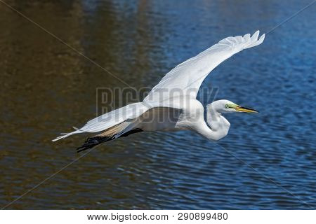 Great White Egret In Flight Over The Florida Everglades