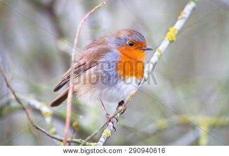 A European Robin (erithacus Rubecula) Perches On A Branch In Shropshire, England.