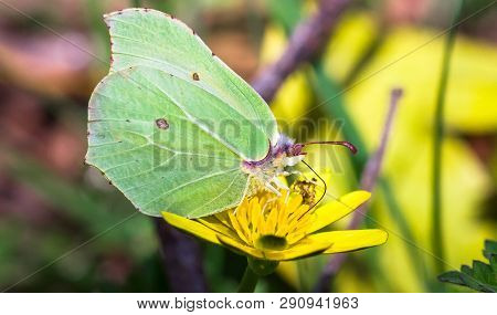 Brimstone Butterfly (gonepteryx Rhamni) Feeding From A Yellow Flower At Wem Moss In Shropshire, Engl