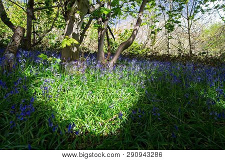 Patches Of Sunlight Illuminate A Field Of Bluebells (hyacinthoides Non-scripta) During Spring In A F