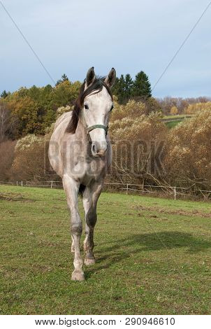 Young Roan Sport Horse On Meadow In Springtime