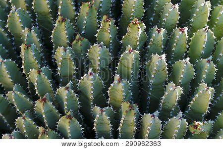 Resin Spurge (euphorbia Resinifera), Cactus Background From Tucson, Arizona.