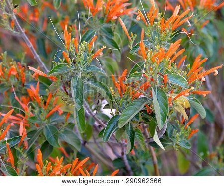 Butterfly Weed (asclepias Tuberosa) Started Blooming At Early Arizona Spring