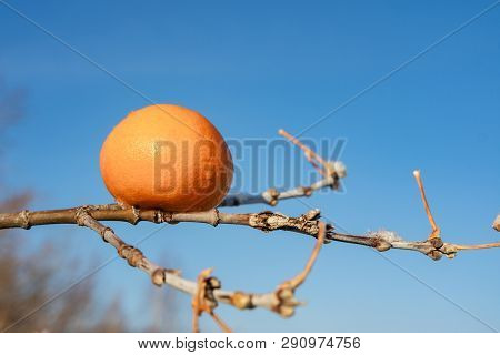 On A Tree Branch Is An Orange, Blue Background Of The Sky, The Tree Is Not Orange