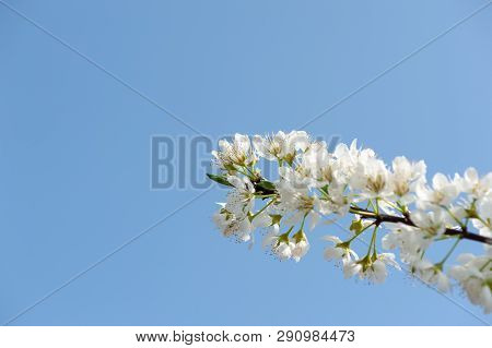 Pear Blossom Tree Flowers Against Blue Sky In Longquanyi Mountains, Chengdu, China