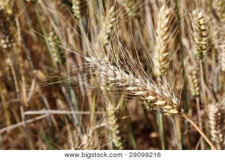 Ripe Ear Of Wheat In Wheatfield