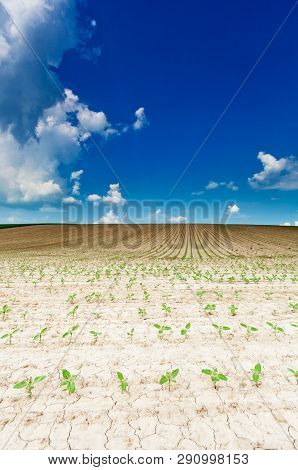 Young Sunflowers On Dry Field With Blue Sky And Clouds