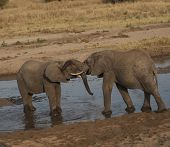 Two baby elephants standing in water and play fighting during sunset, with ivory tusks locked, one with trunk resting on the others head. Tarangire National Park, Tanzania, Africa poster