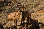 Three ibexes on rocks looking towards something poster