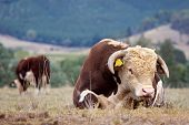 High country Hereford bulls in a paddock. poster