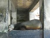 Sea Lion taking a nap in Baltra Galapagos Ecuador South America poster