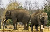 Asian elephants together, One tusked male and a female, elephant couple standing together, Endangered animal species poster