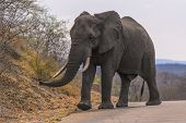 Large male elephant with ivory tusks in tack, Kruger National Park, South Africa poster