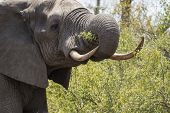Elephant with ivory tusks in tack, (Loxodonta africana) eating green vegatation in Kruger National Park, South Africa poster