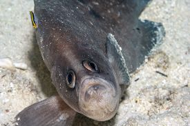Rypticus Is A Genus Of Fish In The Family Serranidae, Sea Basses And Groupers. Genera Of Soapfishes.