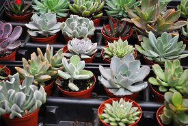 Multiple Small Succulent Plants Growing In Pots
