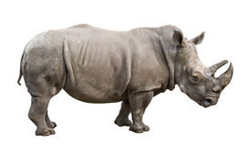 White Rhino Old Male Cutout