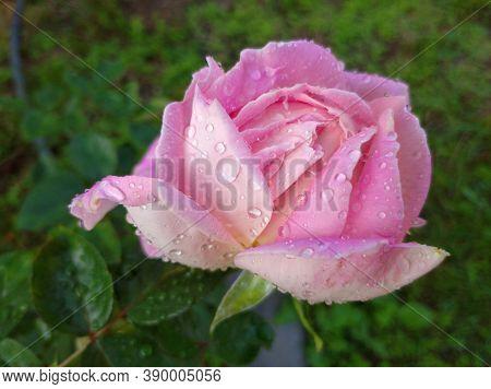 Delicate Pink Rose In Dew Drops. The Bud Began To Bloom. Rose Varieties Amazing Grace, Myriam