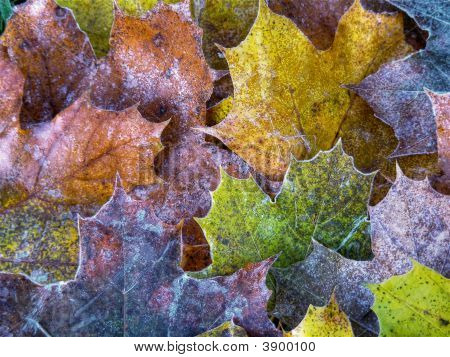 Frost Covered Leaf Background