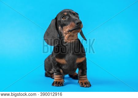 Little Smart Dachshund Puppy Obediently Sits And Looks Ahead Carefully On Blue Background, Studio Sh