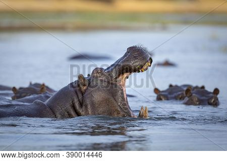 Hippo Standing In Water With Its Mouth Open Showing Yellow Teeth And Tusks In Morning Light In Chobe