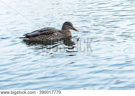 Anatinae Dabbling Duck With Beautiful Plumage. A Brown Female Bird With A Blue-green Head Swim In A