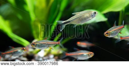 Tropical Aquarium Fish Glowlight Tetra Or Hemigrammus Erythrozonus And Hasemania Nana. Macro View. S