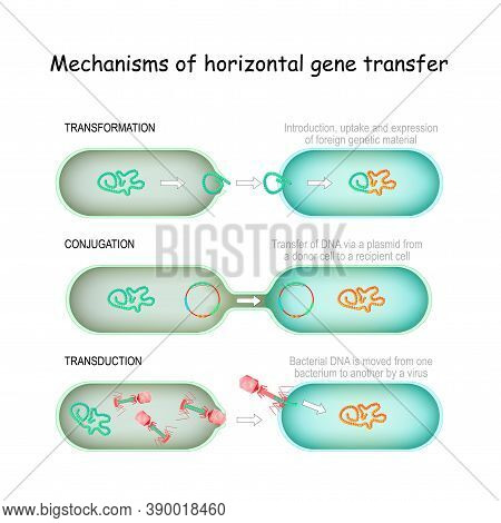Mechanisms Of Horizontal Gene Transfer. Conjugation (transfer Of Dna Via A Plasmid From A Donor Cell